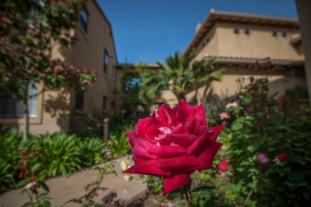 Red rose in residential landscaping