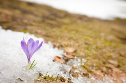 Flower growing through melting snow